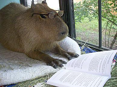 capybara_professor